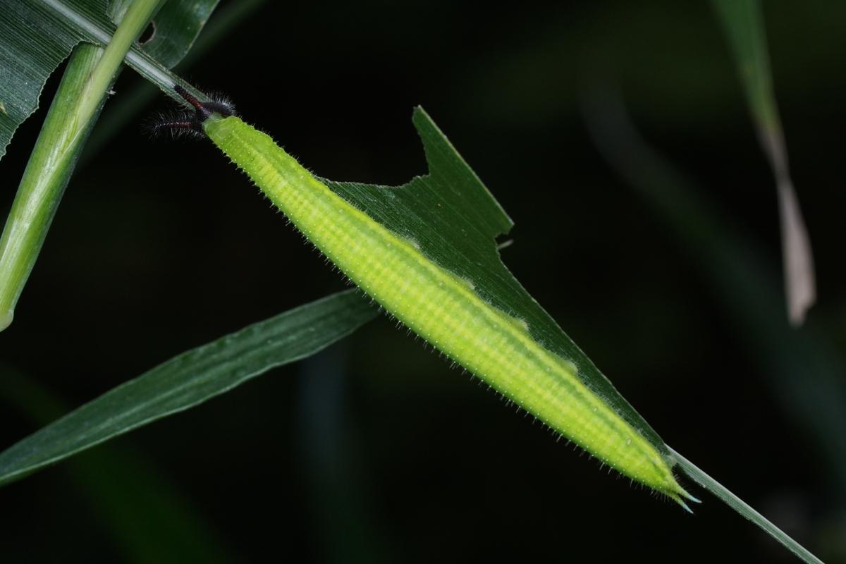 クロコノマチョウ終齢幼虫