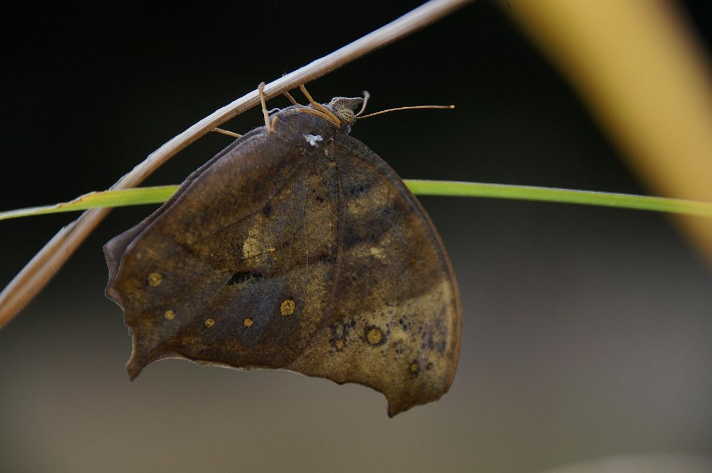 クロコノマチョウ(羽化直後個体)