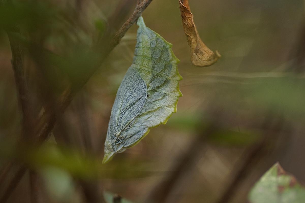アカボシゴマダラ(蛹)