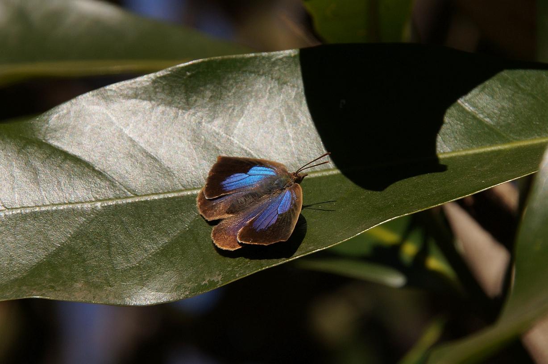 ムラサキシジミ(♀開翅)