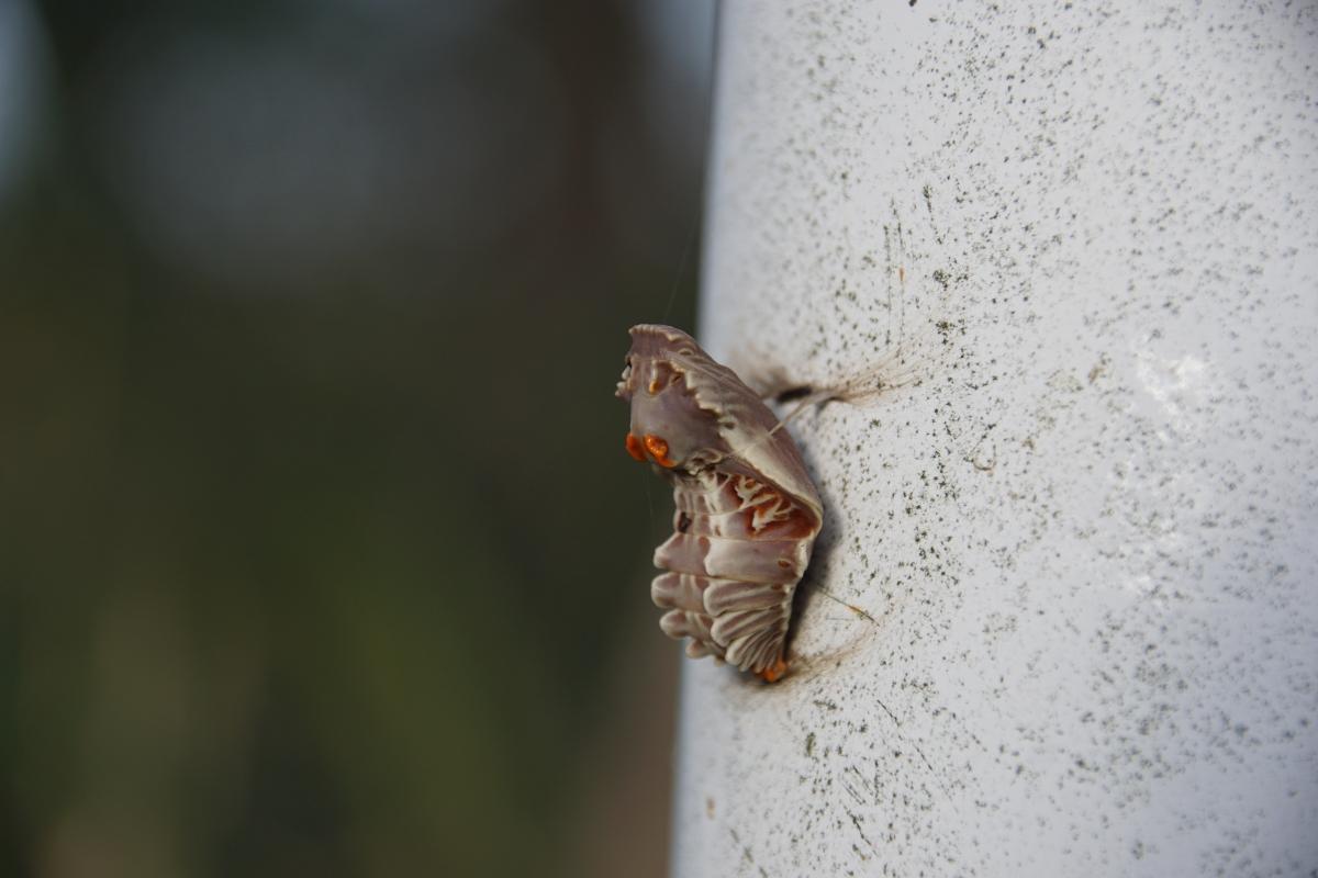 ジャコウアゲハ越冬蛹 №01