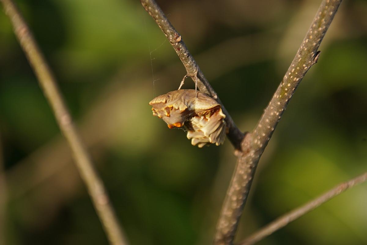 ジャコウアゲハ越冬蛹 №02