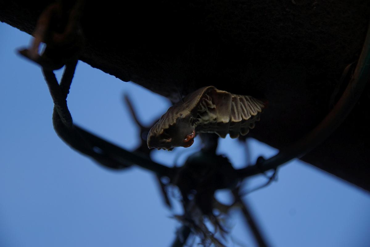 ジャコウアゲハ越冬蛹 №04