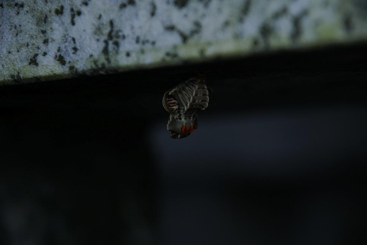 ジャコウアゲハ越冬蛹 №07