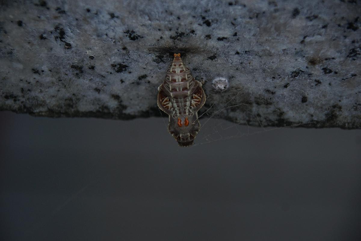 ジャコウアゲハ越冬蛹 №11