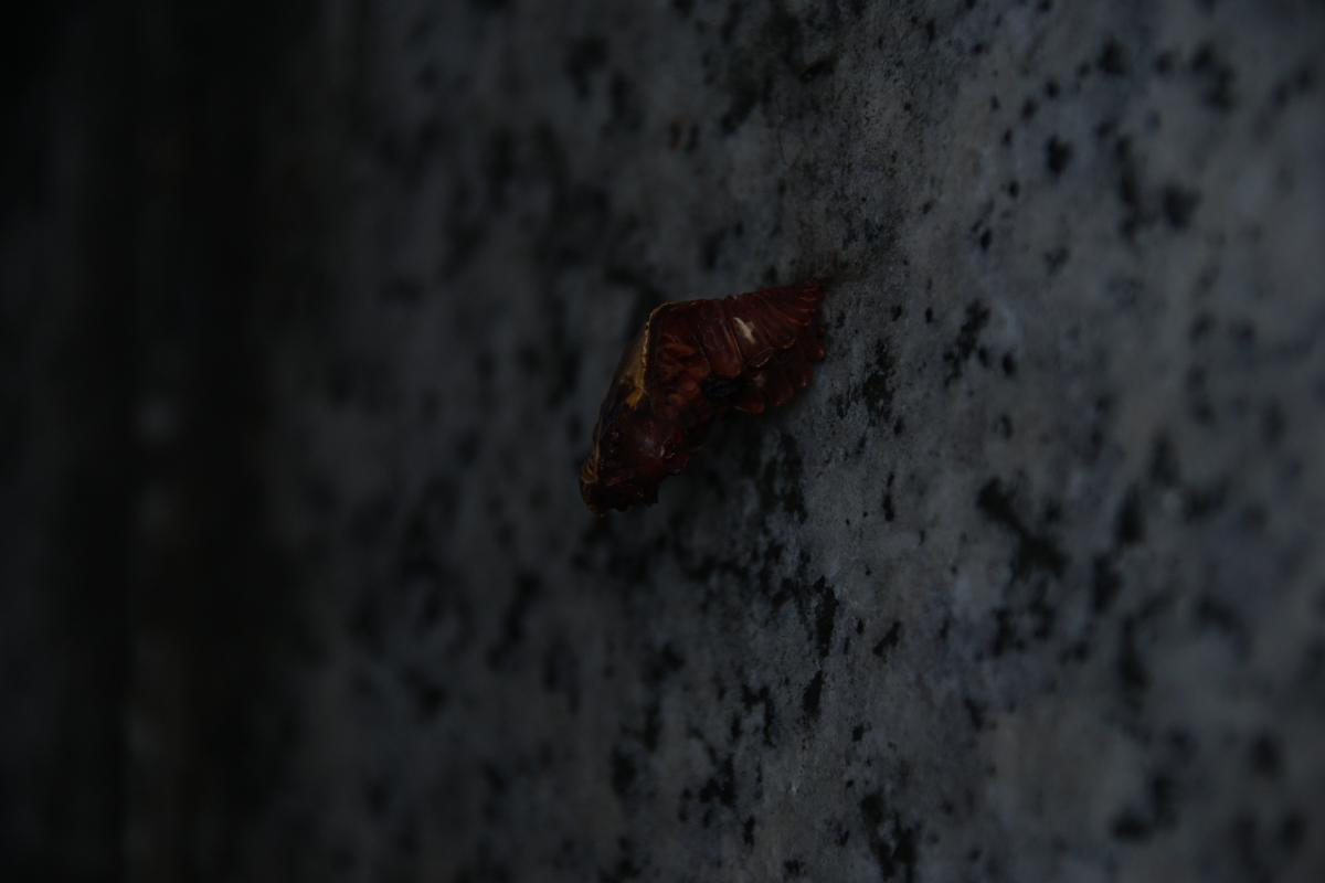 ジャコウアゲハ死亡蛹 №01