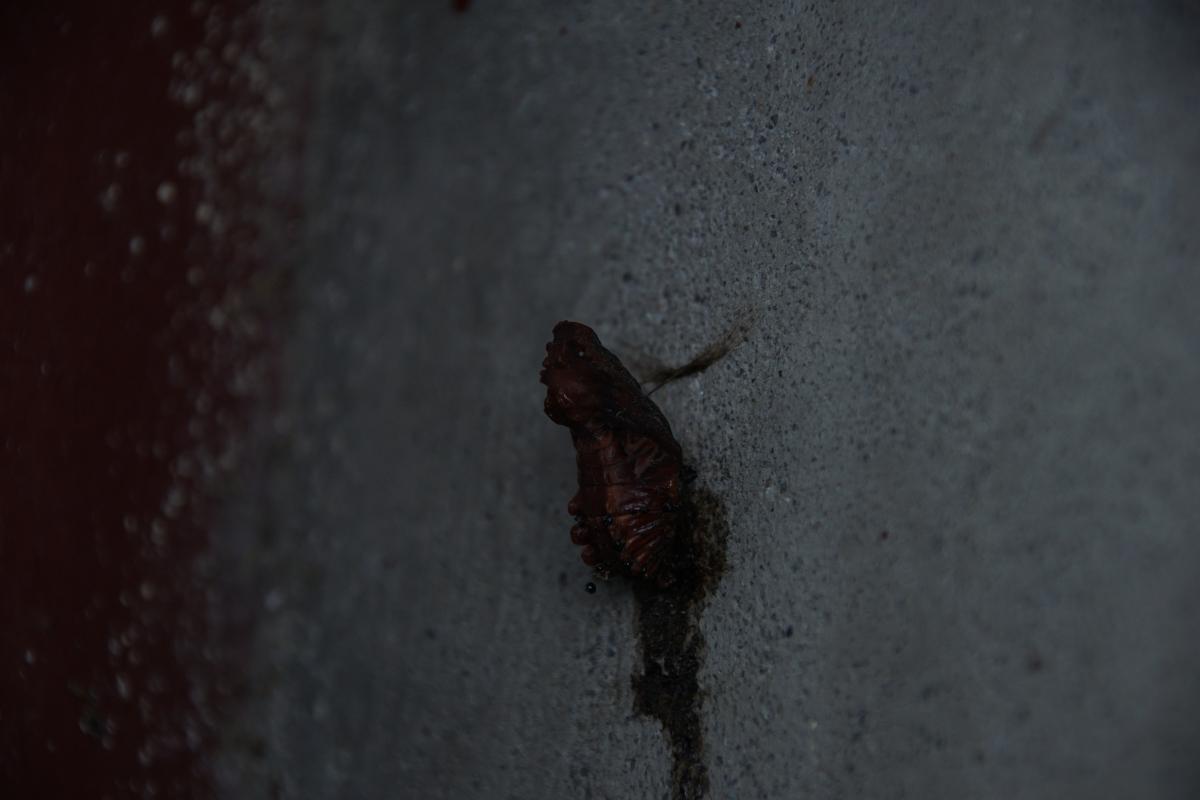 ジャコウアゲハ死亡蛹 №02