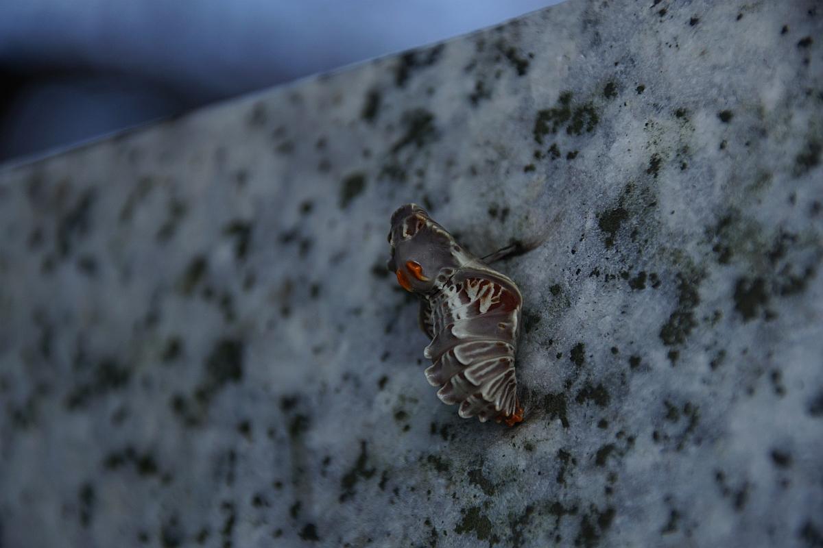 ジャコウアゲハ越冬蛹 №18