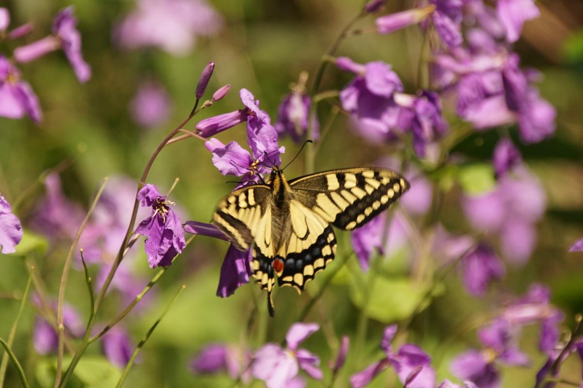 キアゲハ(訪花)