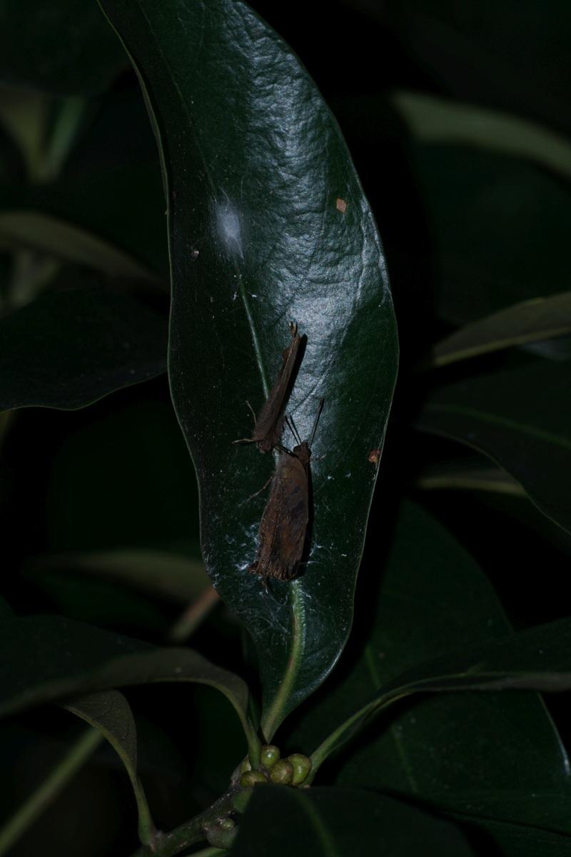 ムラサキツバメ越冬集団(大庭城趾公園C)