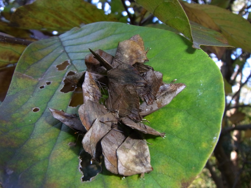 ムラサキツバメ越冬集団(神社境内のモクレン)