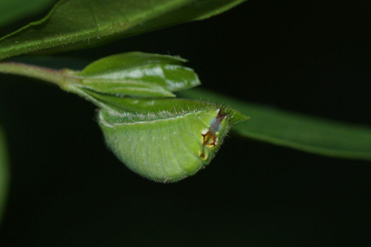 ウラゴマダラシジミ(幼虫)