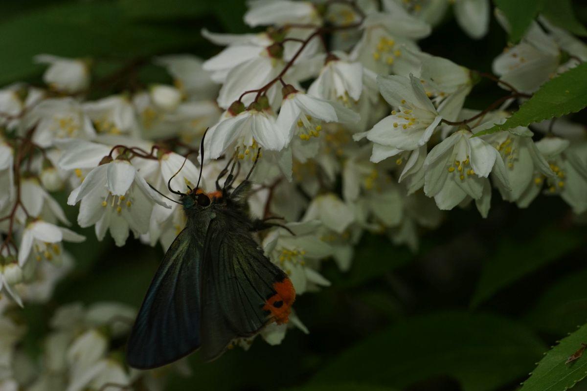 アオバセセリ(翅表チラリ)