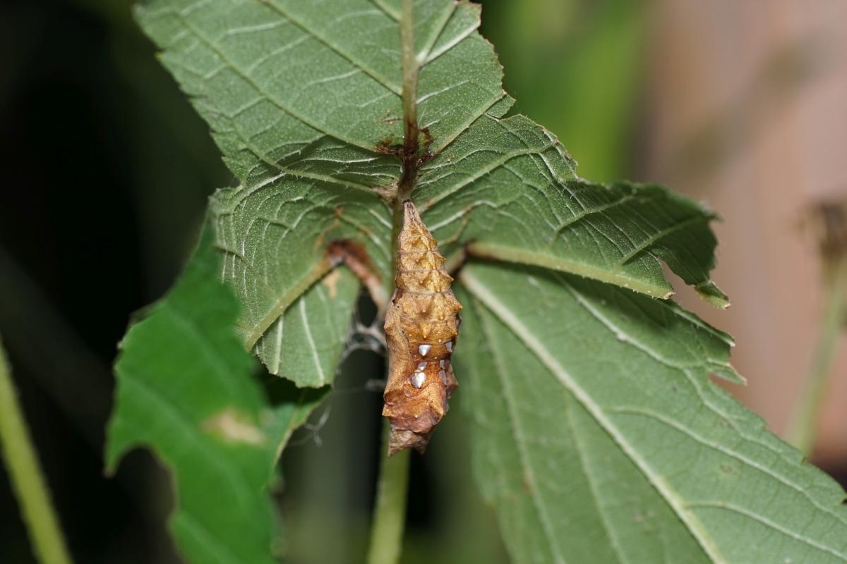 キタテハ(蛹)