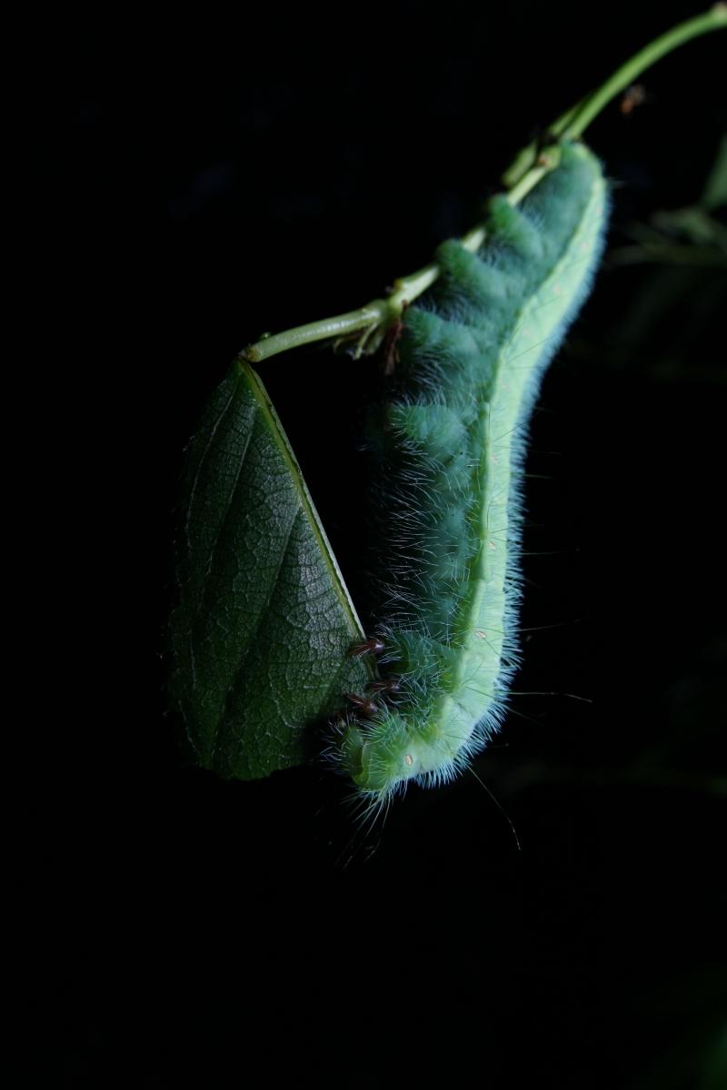 ヒメヤママユ(終齢幼虫)
