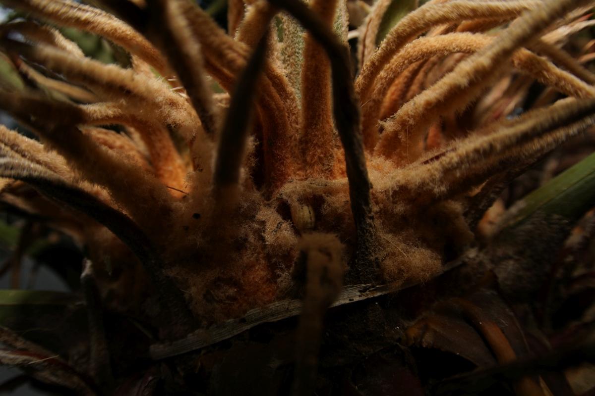 クロマダラソテツシジミ(蛹)