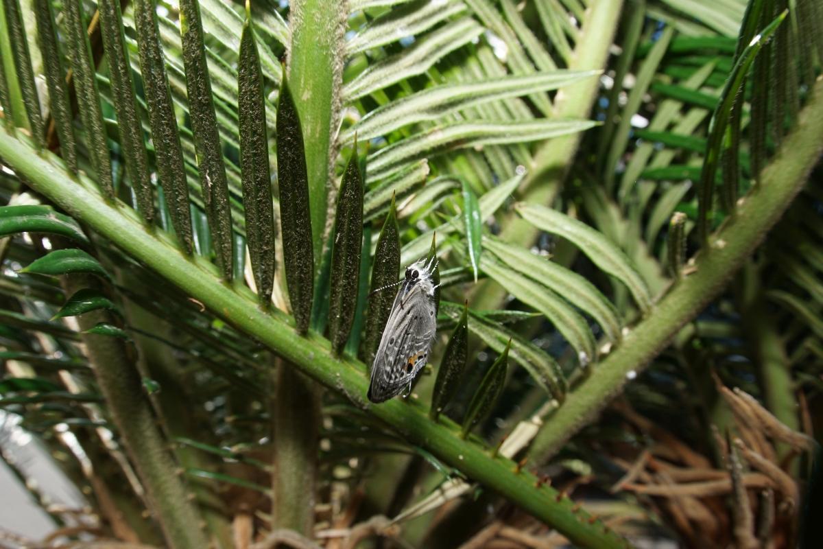 クロマダラソテツシジミ(羽化その1)