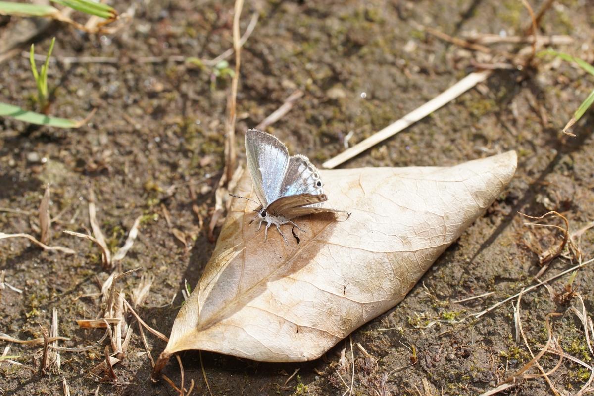 クロマダラソテツシジミ♀開翅