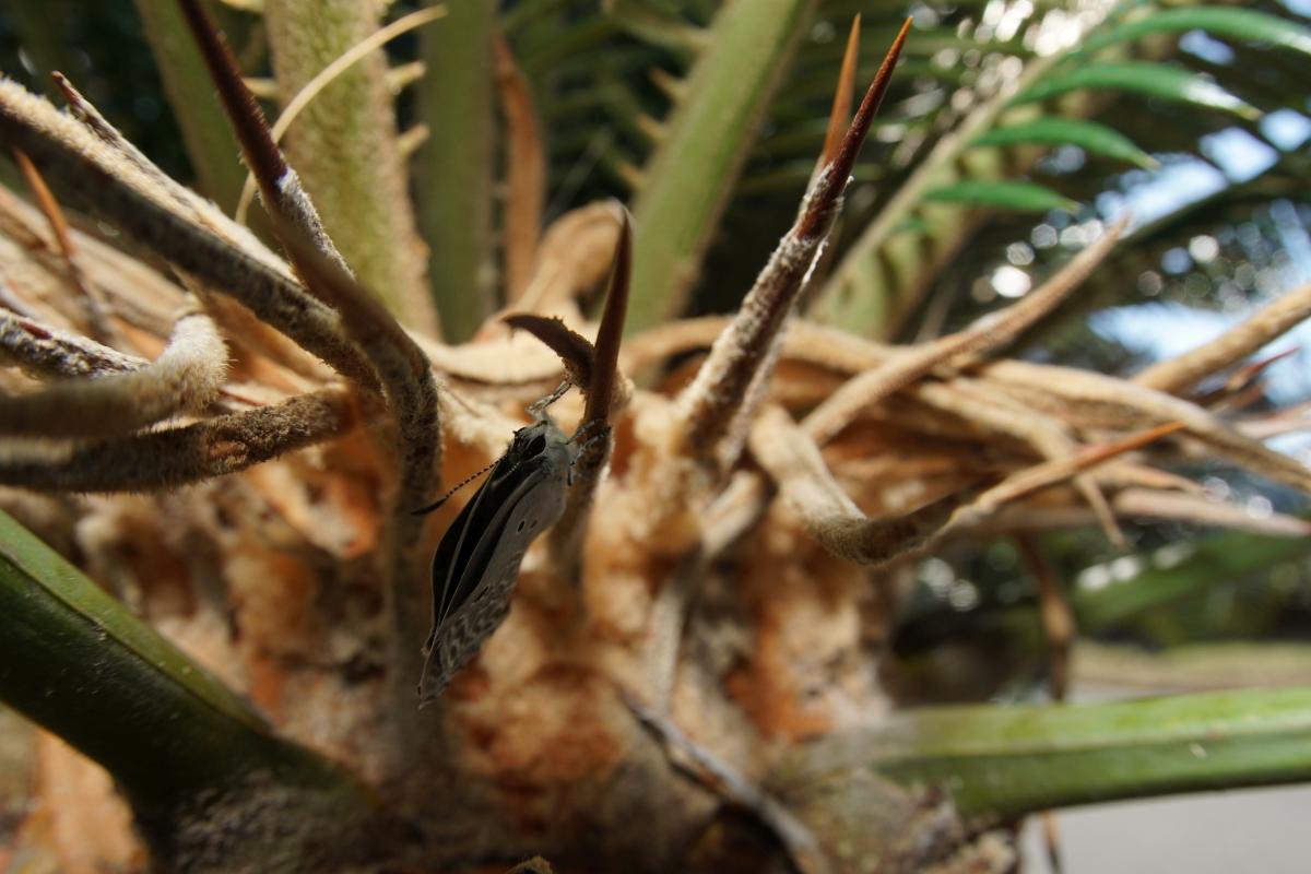 クロマダラソテツシジミ(羽化その5)