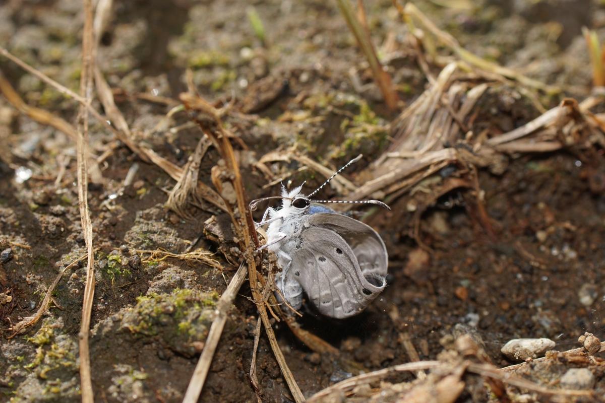 クロマダラソテツシジミ(羽化その9)