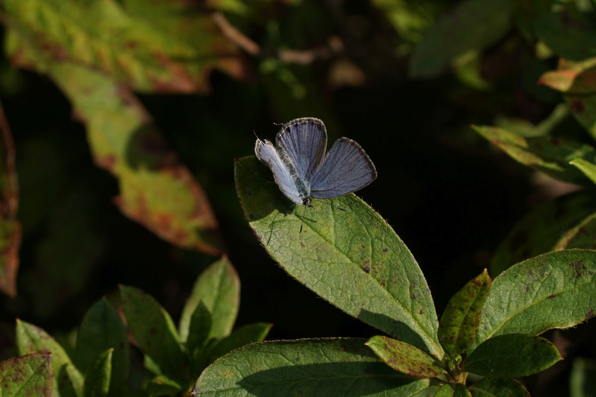 披露山公園のクロマダラソテツシジミ⑤