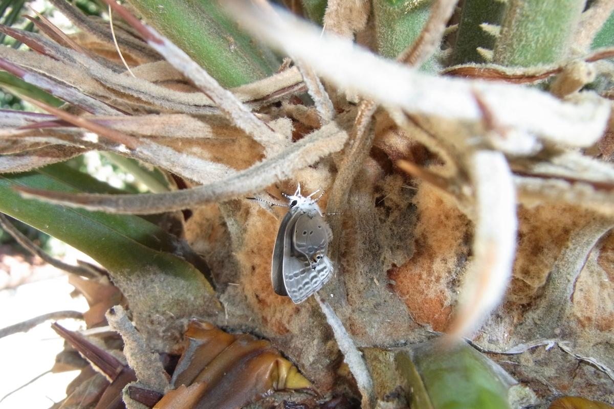 クロマダラソテツシジミ(羽化その2)