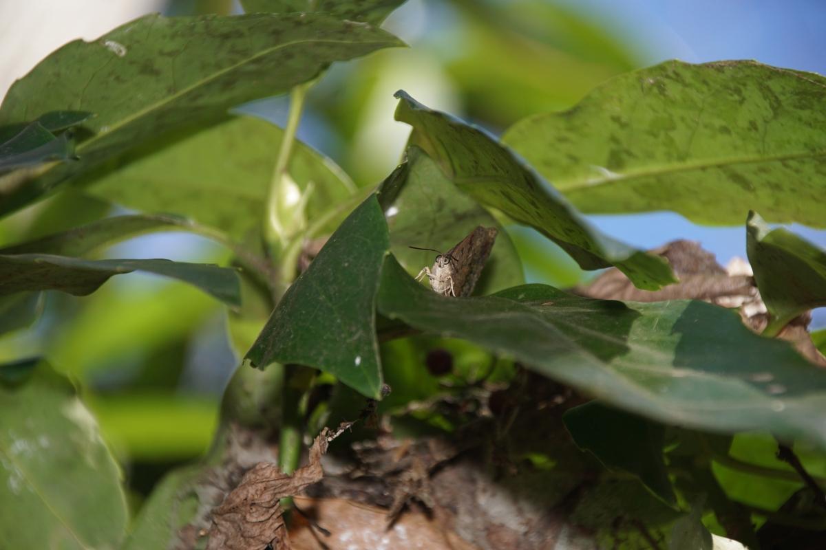 ムラサキツバメ(越冬個体)