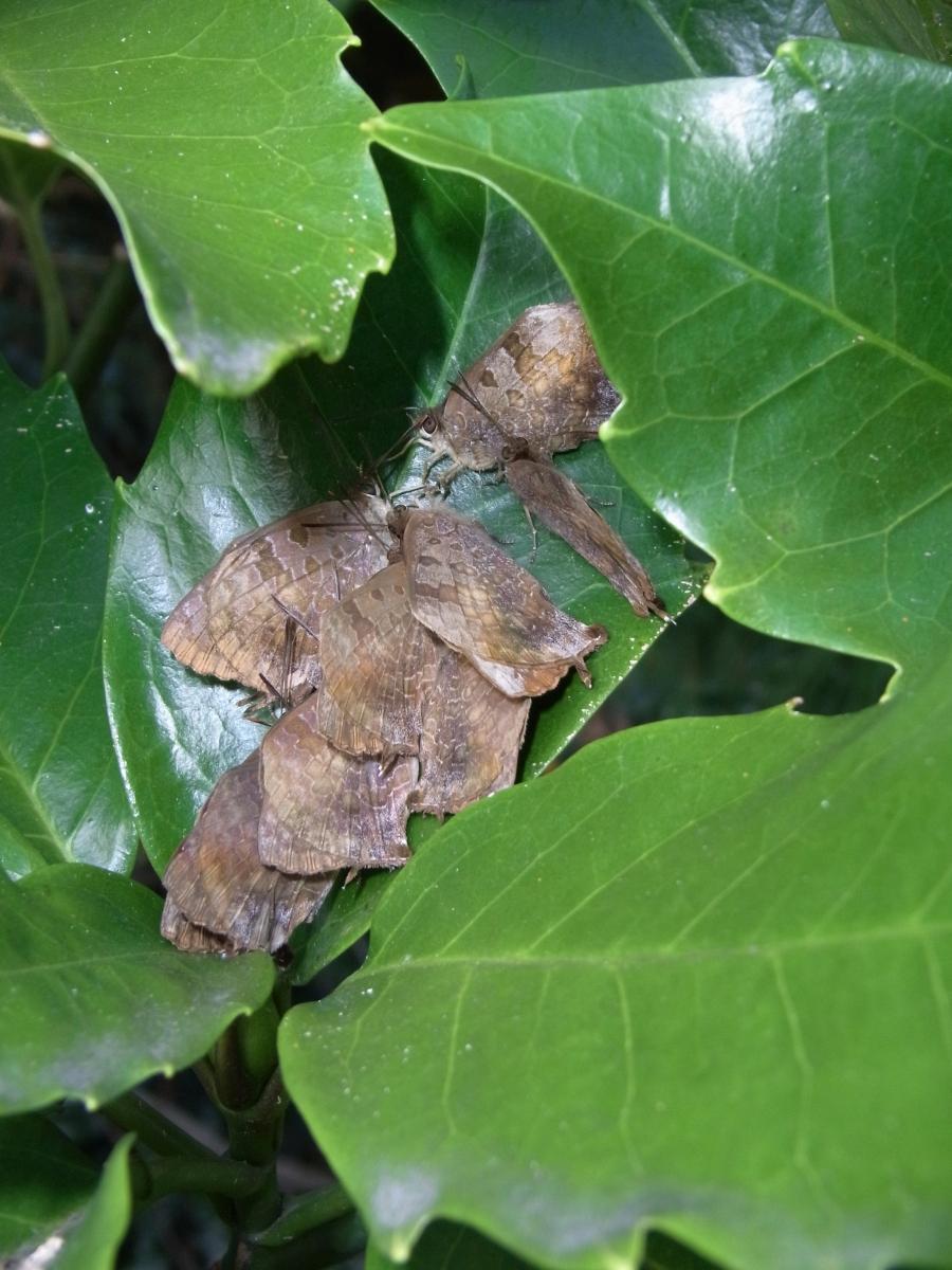 ムラサキツバメ越冬集団