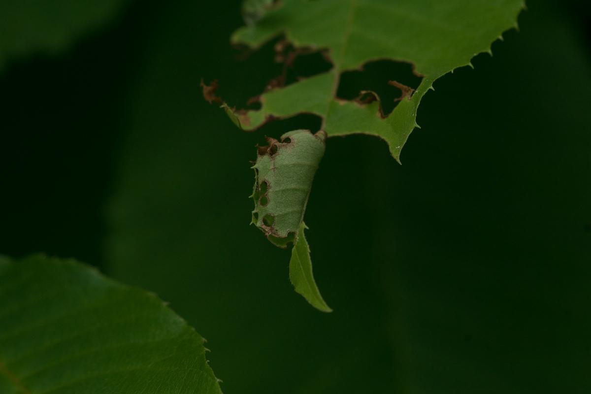 アオバセセリ(幼虫巣跡