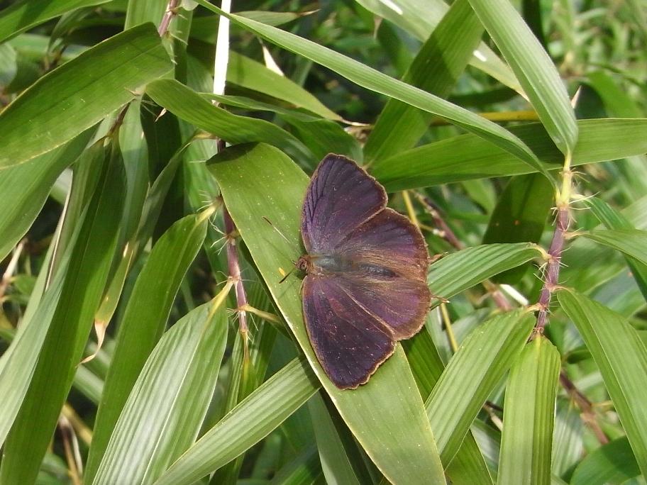 ムラサキツバメ♂開翅