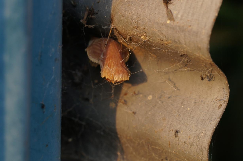 ジャコウアゲハ越冬蛹