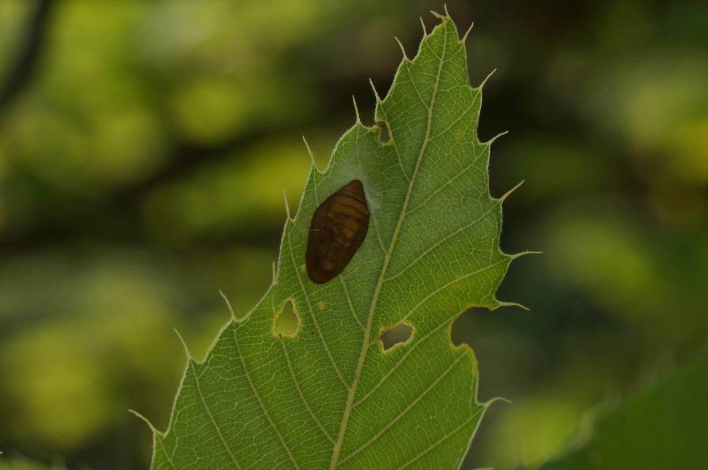 ウラナミアカシジミ(たぶん)の蛹
