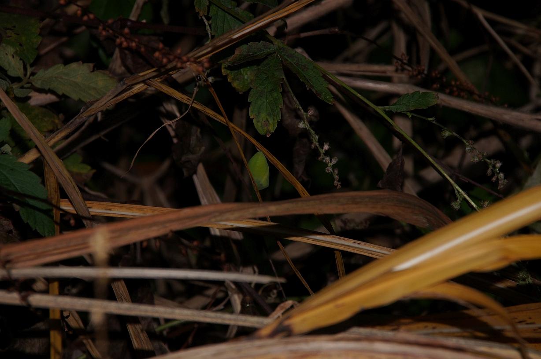 クロコノマチョウ蛹