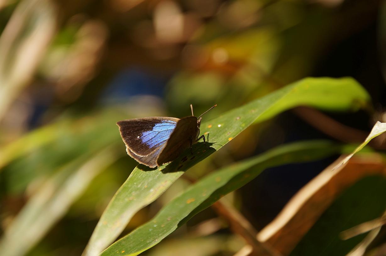 ムラサキツバメ(♀開翅)