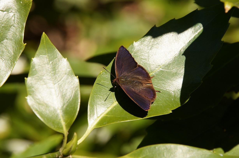 ムラサキツバメ(♂開翅)