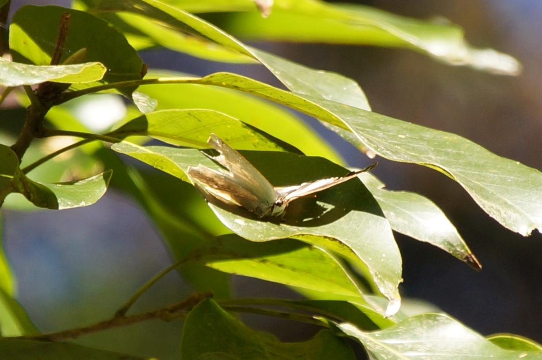 ウラギンシジミ(♀)