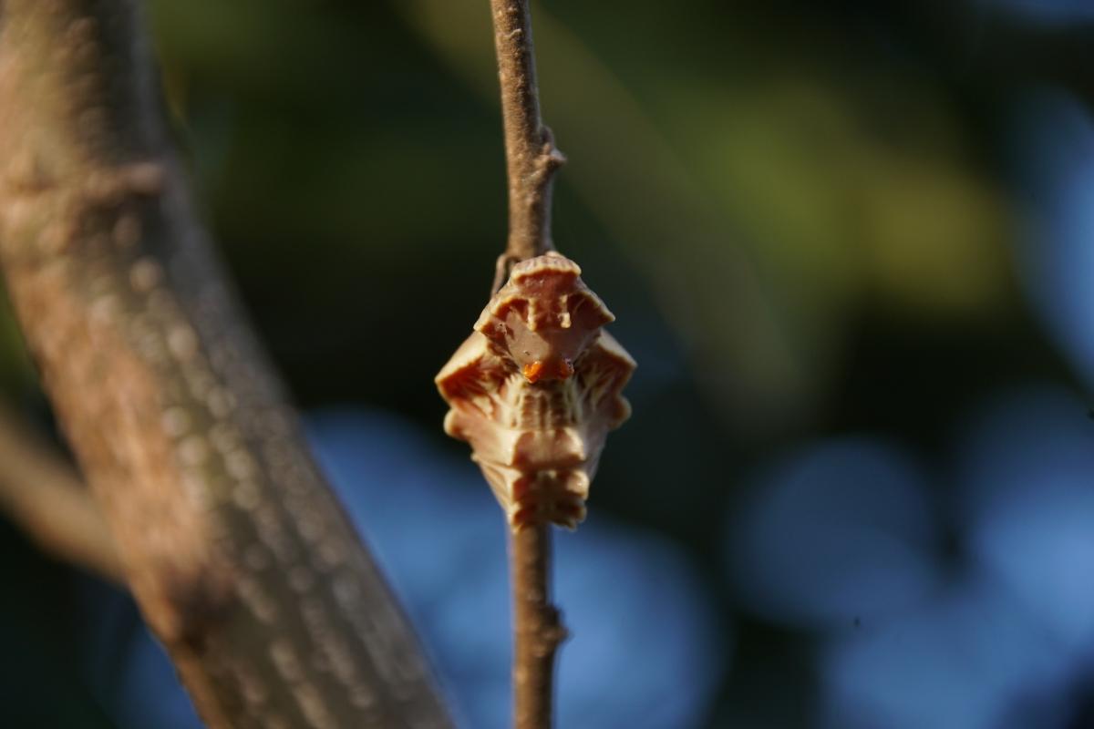 ジャコウアゲハ越冬蛹 №03