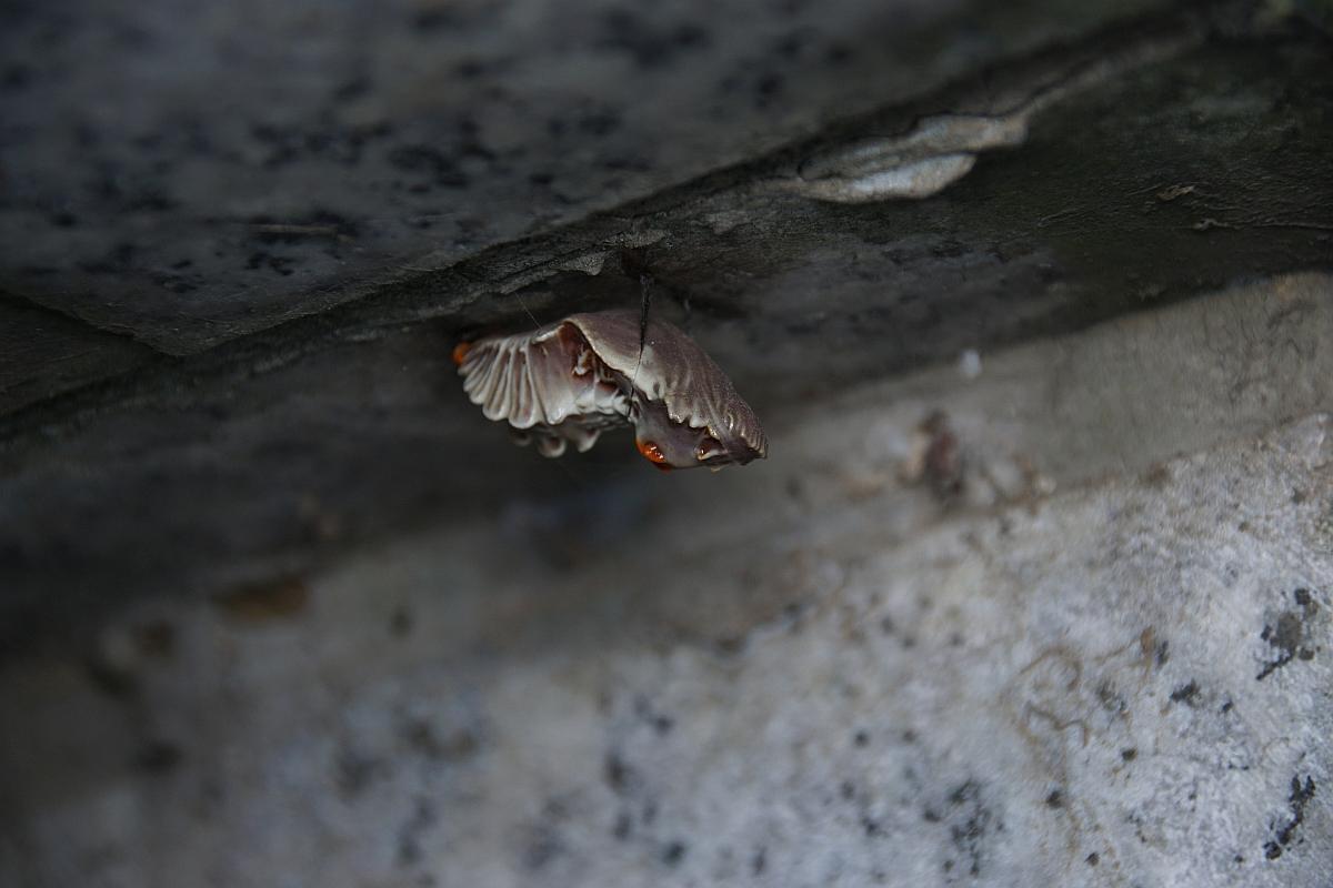 ジャコウアゲハ越冬蛹 №06