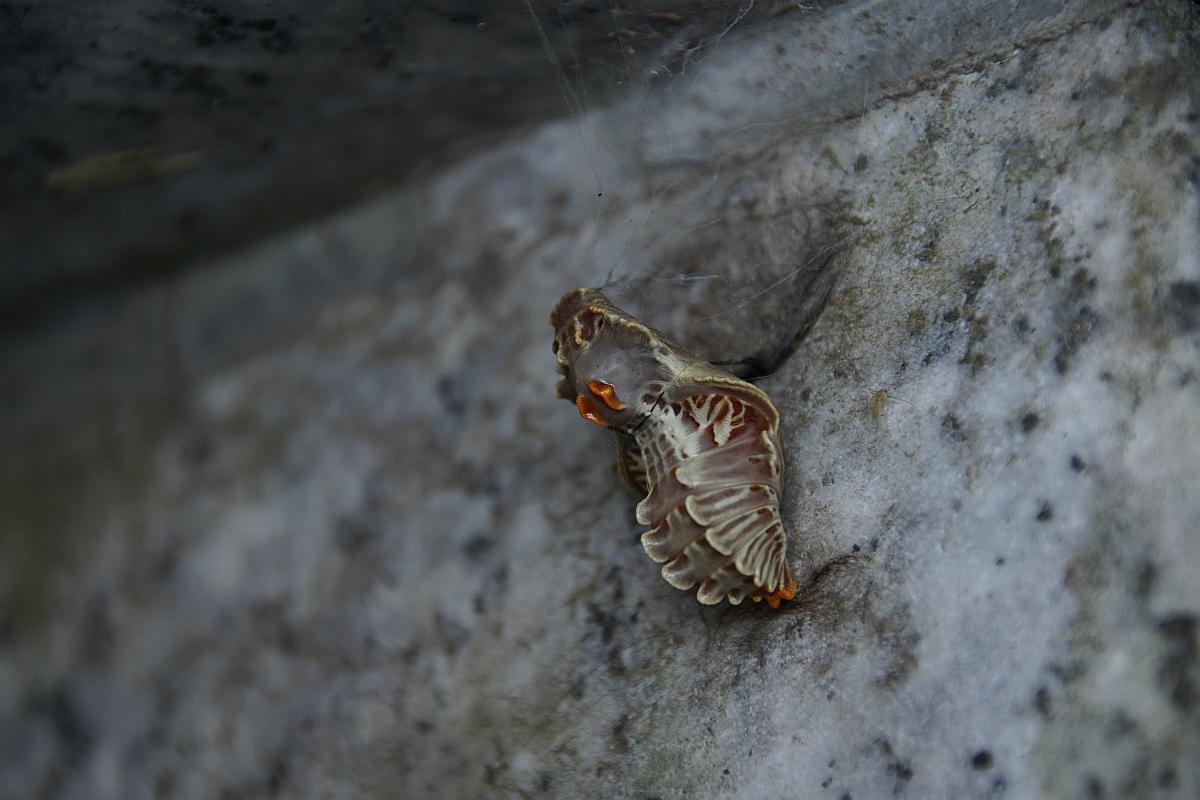 ジャコウアゲハ越冬蛹 №08