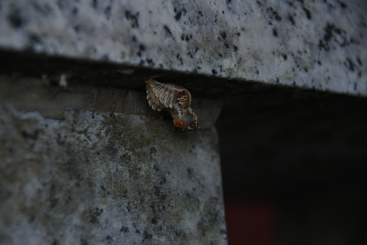 ジャコウアゲハ越冬蛹 №12