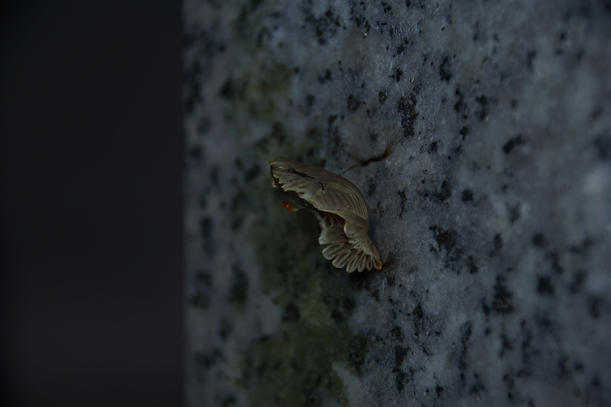 ジャコウアゲハ越冬蛹 №14
