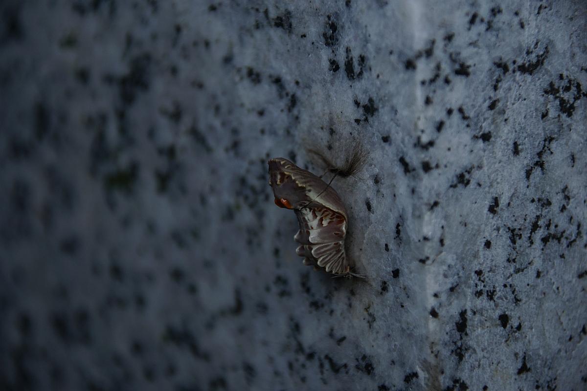 ジャコウアゲハ越冬蛹 №17