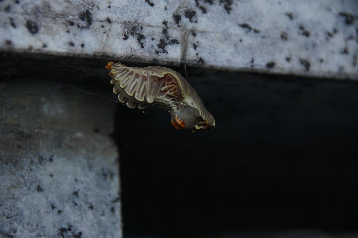 ジャコウアゲハ越冬蛹 №19