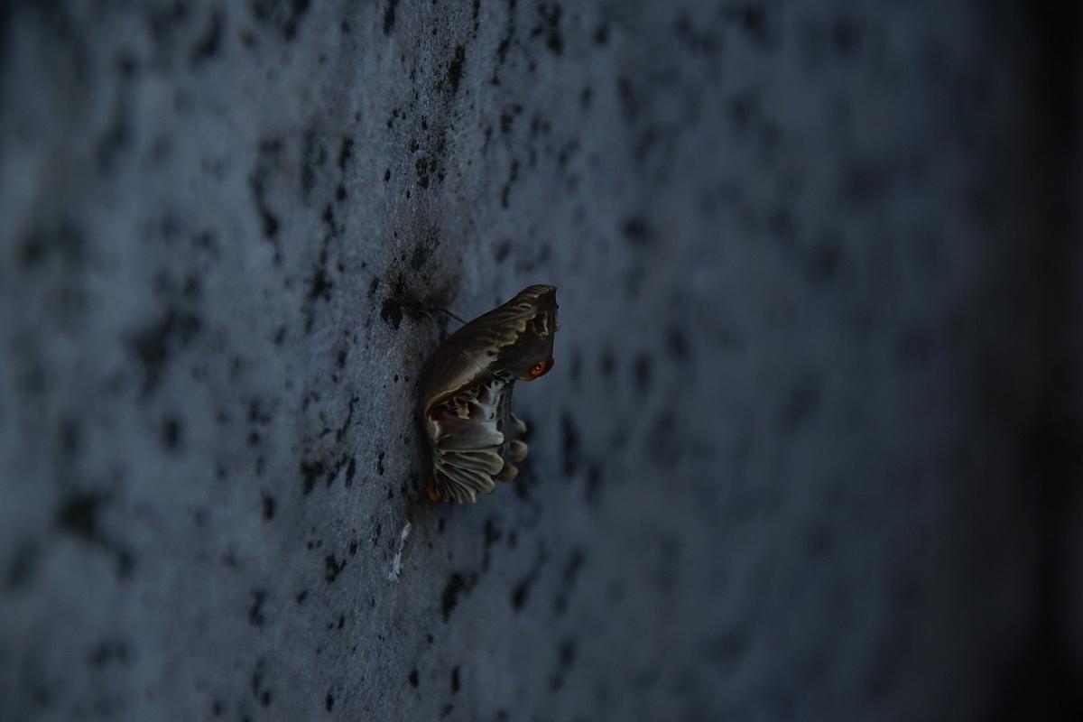 ジャコウアゲハ越冬蛹 №20