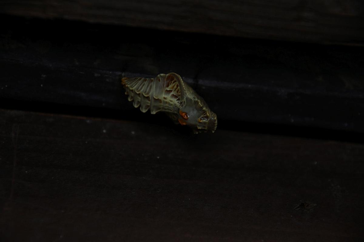 ジャコウアゲハ越冬蛹 №22