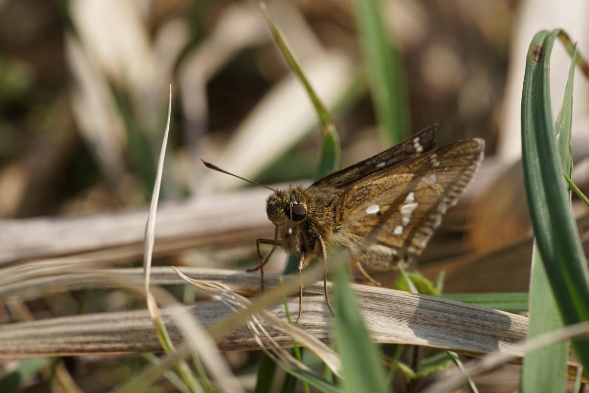 ミヤマチャバネセセリ♂