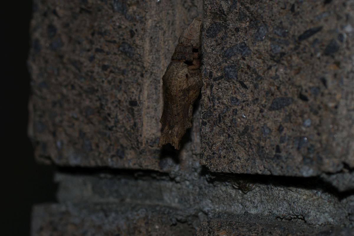 アゲハチョウ科の蛹(種不明/羽化済み)
