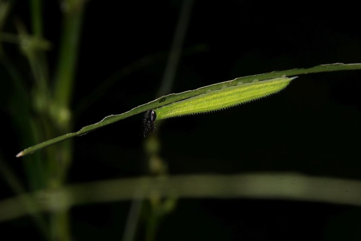 クロコノマチョウ(終齢幼虫)