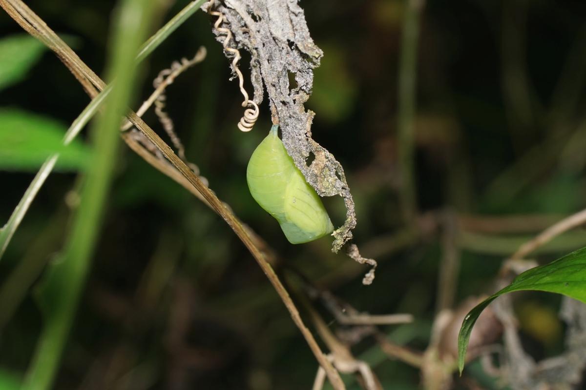 クロコノマチョウ(蛹)