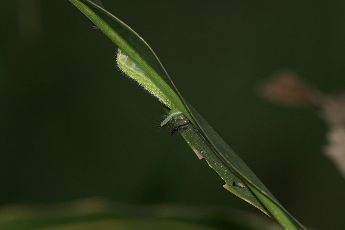 クロコノマチョウ(幼虫)